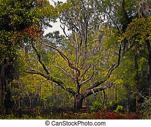 florida, tartózkodik tölgy fa