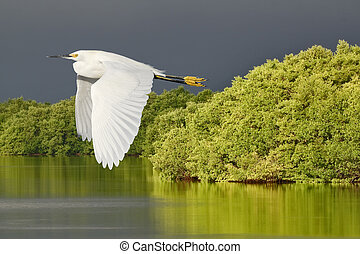 Florida wild birds - Snowy Egret in flight over Ding Darling...