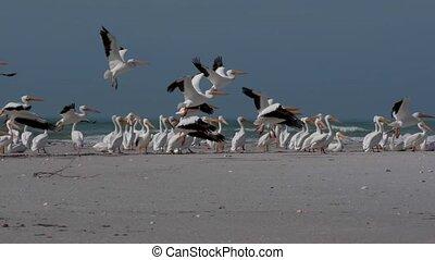 floride, colonie, pélican, oiseaux, blanc