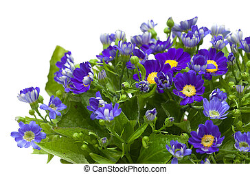 Florists Cineraria isolated on white background