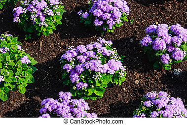 Floss flower Awesome leilani blue or ageratum blue bouque in...