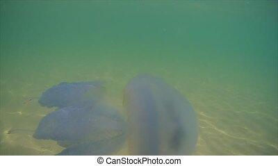 flotter, mer noire, méduse