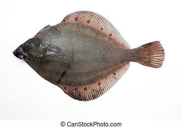 (Pleuronectes platessa) Plaice-fluke, Fluke, Plaice, Hen fish. Fresh caught lying on a light background