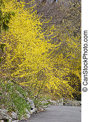 flovers on forsythia branches above a path