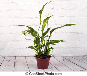 flowe, potted, spathiphyllum