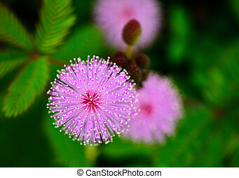 flowe, sensible, plante