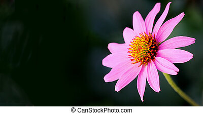 Pink petaled flower extending out next to a black background