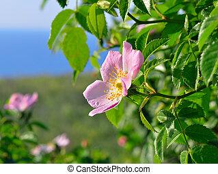 Flower against the green meadow - Flower Dog-rose against ...