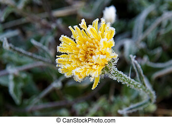 Flower and leaves with hoarfrost