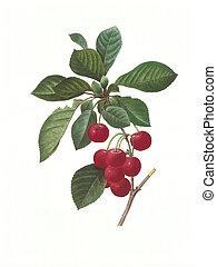 flower antique illustration cherry