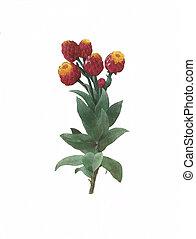 flower antique illustration cudweed