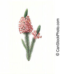 flower antique illustration erica
