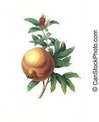 flower antique illustration grenade
