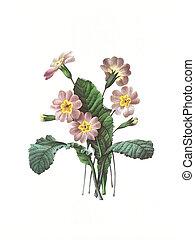 flower antique illustration primevere