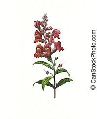 flower antique illustration snapdragon