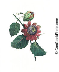flower antique illustration passionflower