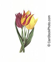flower antique illustration tulipe