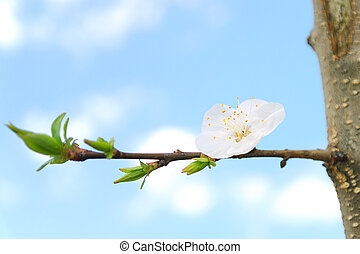 Flower Apricot tree on branch white