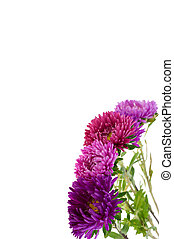 flower aster isolated on white background