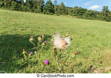 Flower at a meadow in the autumn, Swabian alb, Germany