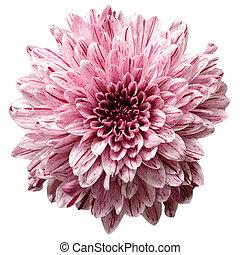 Flower background, macro isolated on white background