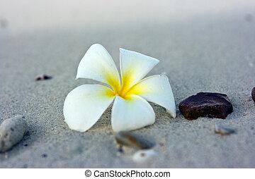 Flower beach - Temple tree flower lying on the beach