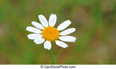 Flower - Beautiful wild flower (anthemis ruthenica)
