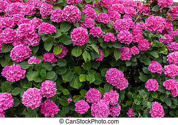flower bed full of purple hydrangea flowers and pink