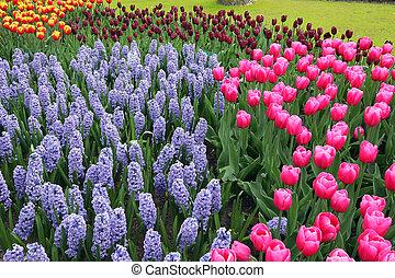 Flower bed in Keukenhof gardens - Hyacinths and tulips in...