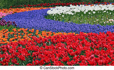 Flower bed in Keukenhof gardens - Multicolored flower bed