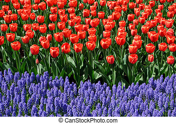 Flower bed in Keukenhof gardens - Tulips and bluebells