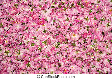 Flower bed of beautiful pink Rose flower buds