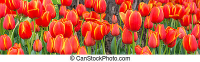 Flower bed of multi color tulips.