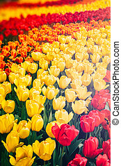 Flower bed of multicolor tulips