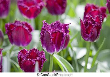 Flower bed of purple tulips