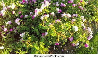 Flower bed of roses