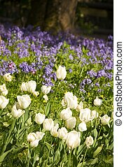 Flower bed of tulips and bluebells in a garden, UK
