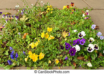 Flower bed with flowers pansies,