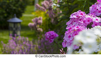 Flower bed with flowers Phlox