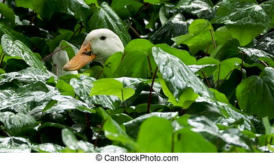 Flower bed with plants under the rain. Wet foliage shining of raindrops. White duck sitiing among wet plants.