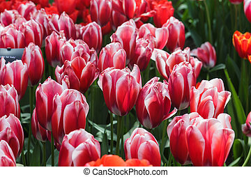Flower bed with red tulips (Tulipa) in spring time