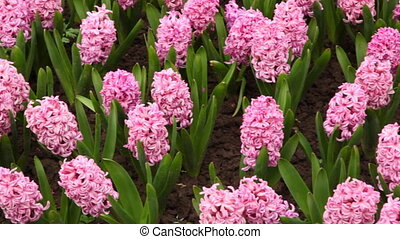 Flower beds with bright hyacinths