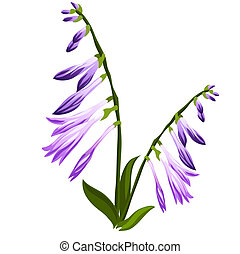 Flower bell with blue buds isolated on white background. Vector cartoon close-up illustration.