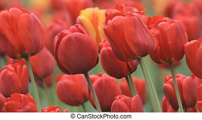 Flower Big Red Tulips