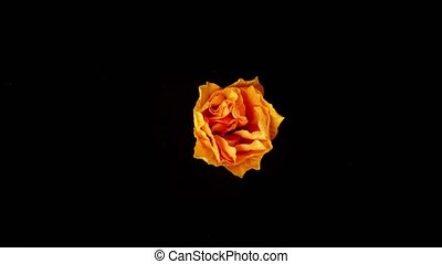 Flower blooming on black background - Isolated flower...