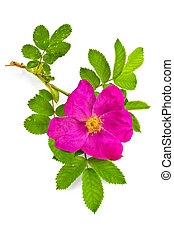 Flower briar - Sprig of rose hips with a flower and green...