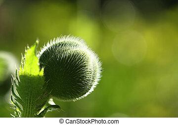 Flower bud - Beautiful poppy flower bud in sun light....