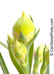Flower Bud - Macro shot of Carnation flower bud .