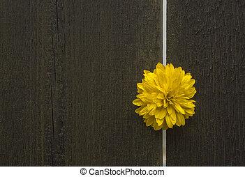 Flower bud - Yellow wet flower bud in gap between two wooden...