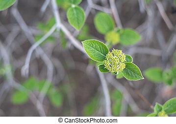 Flower buds viburnum tinus in spring forest